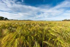 生长在绿色农田的年轻麦子 免版税图库摄影