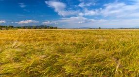 生长在绿色农田的年轻麦子 库存图片