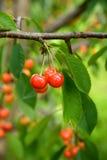 生长在绿色叶子中的一棵树的成熟樱桃 库存照片