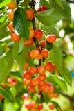 生长在绿色叶子中的一棵树的成熟樱桃 免版税库存图片