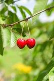 生长在绿色叶子中的一棵树的成熟樱桃 库存图片