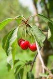 生长在绿色叶子中的一棵树的成熟樱桃 免版税库存照片