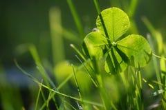 生长在绿草的四片叶子三叶草或三叶草,早晨 免版税库存图片