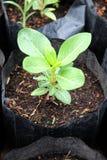 生长在黑袋子的幼木。 免版税图库摄影
