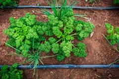 生长在agricultu的新鲜的绿色卷曲荷兰芹植物顶视图  免版税库存图片