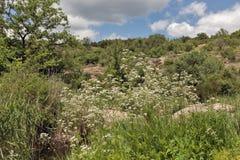 生长在Arbuzynka峡谷的医药草本拔地响灌木 免版税库存图片