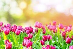 生长在bokeh背景和黄灯的庭院里的郁金香与雾 免版税库存图片