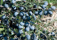 生长在brach的黑橄榄 免版税库存图片