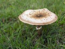 生长在gras的唯一伞菌Macrolepiota procera 免版税库存图片