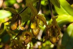 生长在La Gran Sabana,委内瑞拉的兰花 库存图片