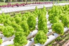 生长在outd的绿色橡木莴苣沙拉水耕的技术  图库摄影