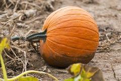 生长在pumpki土壤的藤的橙色成熟南瓜特写镜头  免版税库存图片