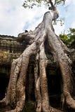 生长在Ta Phrom,吴哥窟,柬埔寨古老废墟的榕树  免版税库存图片