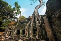 生长在Ta Phrom,吴哥窟,柬埔寨古老废墟的榕树  库存图片
