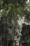 生长在Ta Prohm寺庙的墙壁上的树在吴哥 库存照片