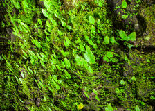 生长在wal的绿色叶子和青苔 免版税库存图片