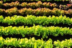 生长垂直在农业农场的菜罐 免版税图库摄影