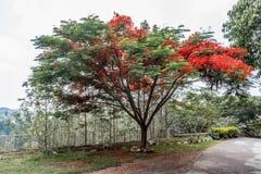 生长完全的红色上色了在路的树对小山驻地,萨利姆, Yercaud, tamilnadu,印度, 2017年4月29日 免版税图库摄影