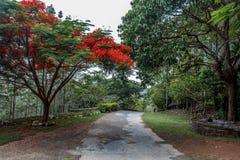 生长完全的红色上色了在路的树对小山驻地,萨利姆, Yercaud, tamilnadu,印度, 2017年4月29日 免版税库存照片