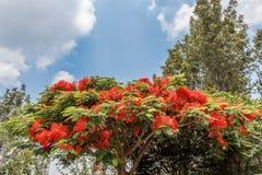 生长完全的红色上色了在路的树对小山驻地,萨利姆, Yercaud, tamilnadu,印度, 2017年4月29日 库存照片
