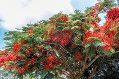 生长完全的红色上色了在路的树对小山驻地,萨利姆, Yercaud, tamilnadu,印度, 2017年4月29日 库存图片