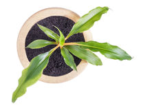 生长室内植物顶视图在白色隔绝的陶瓷罐的 免版税库存图片
