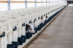 生长年轻牛奶店在有白色小牛房子小牛箱子的托儿所产犊在日志农场 库存照片