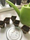 生长幼木的辅助部件在家 在泥煤上板材谎言片剂,充满水变柔和 附近有泥煤罐 免版税库存照片