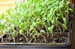 生长往在窗台的阳光的蕃茄幼木 免版税库存图片