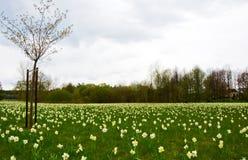 生长很多花Narciso的领域 免版税库存图片