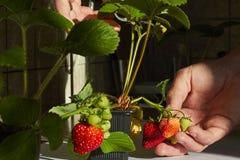 生长户内在窗台的草莓植物和有同情心的手 免版税图库摄影