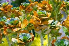 生长新自然橙色和绿色微型圆白菜农田庭院  库存照片