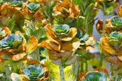 生长新自然橙色和绿色微型圆白菜农田庭院  图库摄影