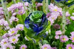 生长新自然蓝色和绿色微型圆白菜农田庭院  免版税图库摄影