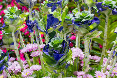 生长新自然蓝色和绿色微型圆白菜农田庭院  免版税库存照片