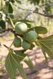 生长无花果在无花果树的分支结果实 库存图片