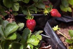生长有机的草莓健康 免版税图库摄影