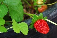 生长有机草莓,选择聚焦 库存图片