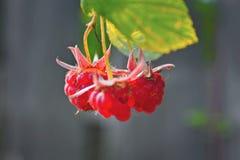 生长有机莓果特写镜头 免版税库存图片