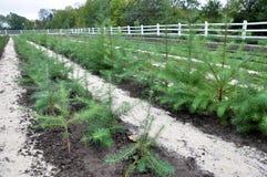 生长林木树苗的托儿所 免版税库存图片