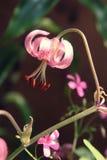 生长桃红色百合属植物tigrinum关闭 免版税库存图片