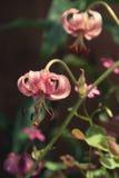 生长桃红色百合属植物tigrinum关闭 库存图片