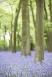 生长森林地的会开蓝色钟形花的草 图库摄影