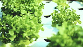 生长植物水栽法方法在水中没有土壤 股票视频