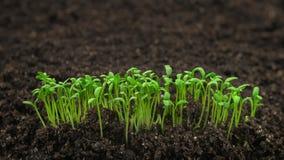 生长植物timelapse,自温室发芽萌芽新出生的植物 股票录像