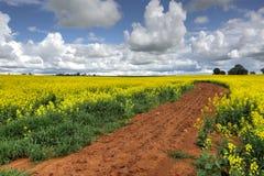 生长油菜领域 图库摄影