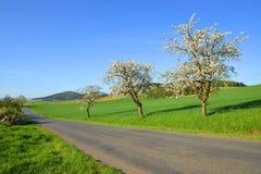 生长沿柏油路的开花的樱桃树 免版税库存图片