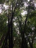 生长沿Hanakapiai在NaPali海岸的秋天足迹的竹子沿Kalalau足迹在考艾岛海岛,夏威夷上的多雨和有薄雾的天 库存图片