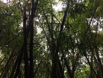 生长沿Hanakapiai在NaPali海岸的秋天足迹的竹子沿Kalalau足迹在考艾岛海岛,夏威夷上的多雨和有薄雾的天 免版税库存照片