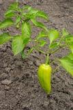 生长灌木用绿色甜椒辣椒粉 布什用水浇灌 库存图片